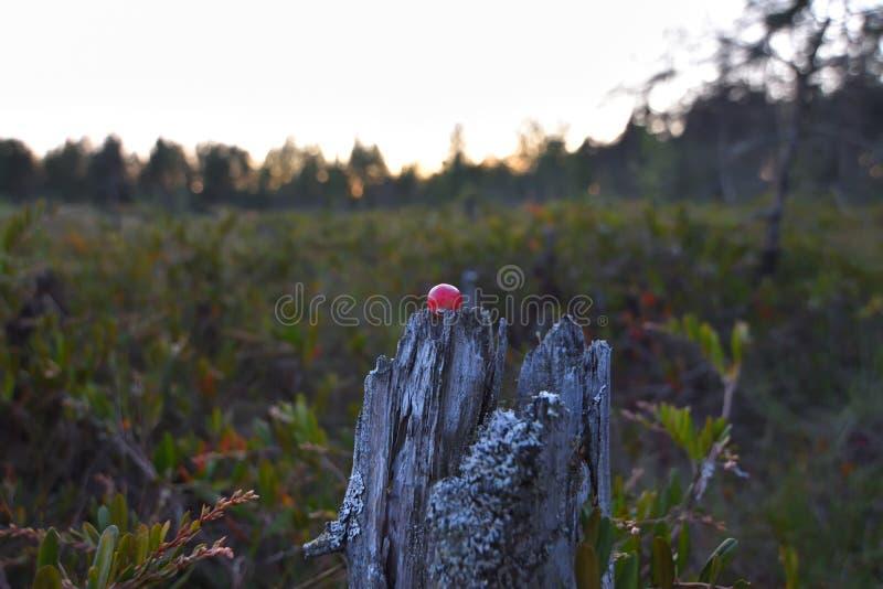 Moosbeere und Sonnenunterganglandschaft stockbild