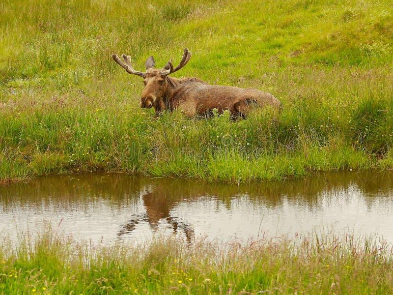 Moose先生 图库摄影