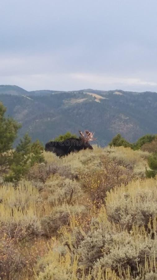 moose royalty-vrije stock afbeeldingen