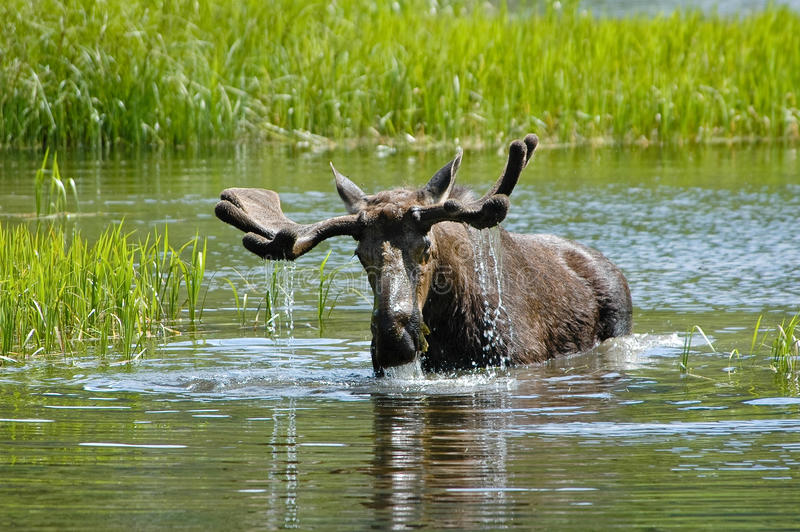 Moose. Bull Moose in a pond having a drink of water royalty free stock photo