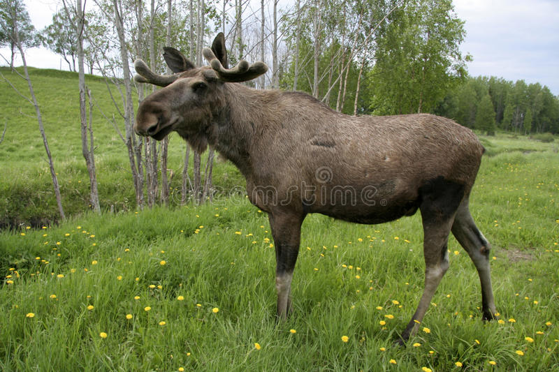 Download Moose stock photo. Image of wild, field, posing, grass - 15215088