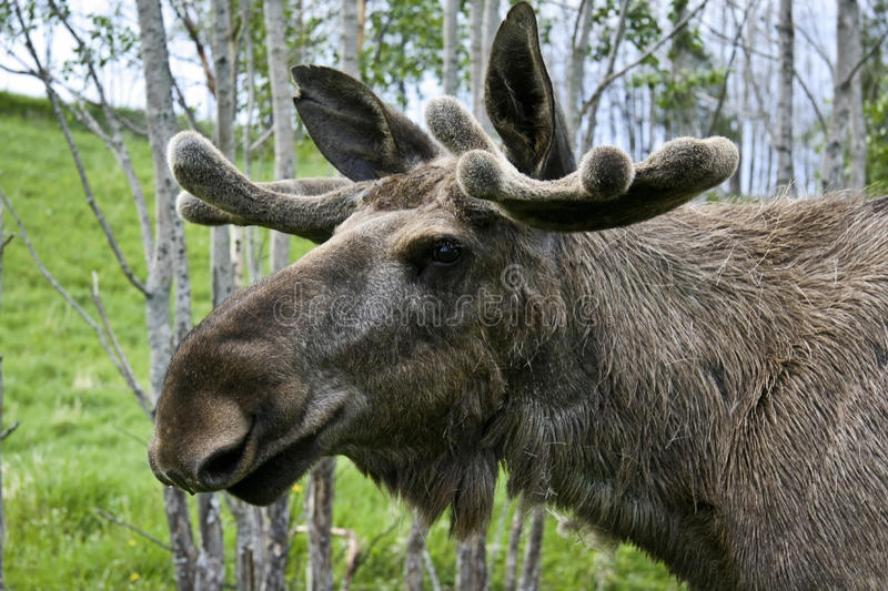 Download Moose Stock Image - Image: 19593261