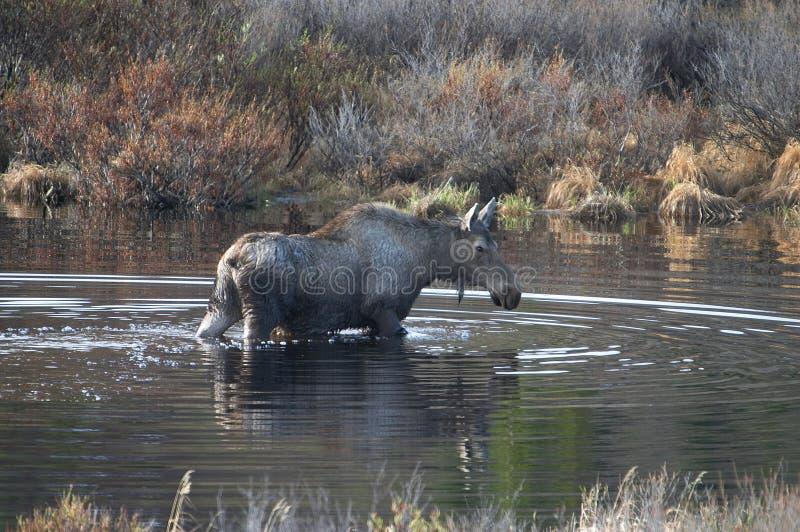 Moose. In a pond in Denali National Park, Alaska stock image