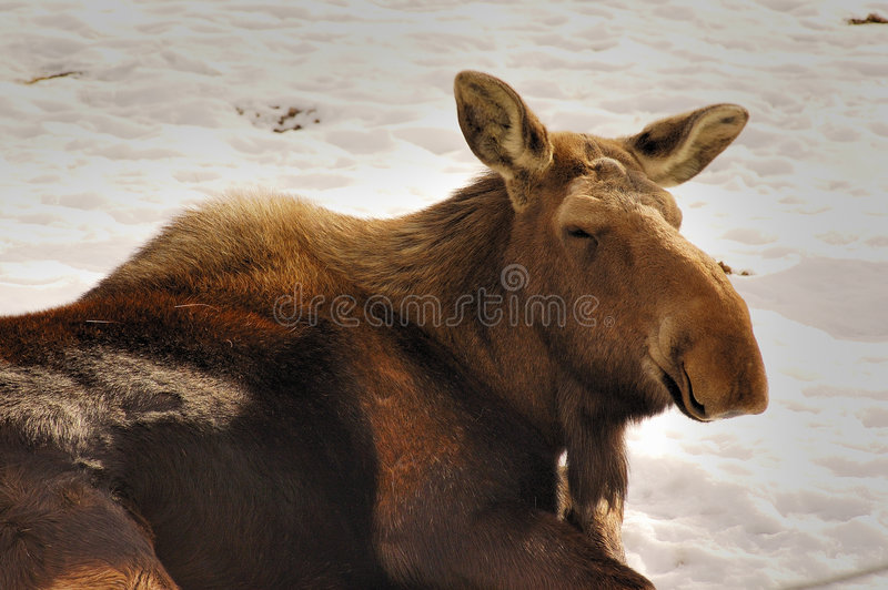 Moose. Dreaming on the snow royalty free stock photography