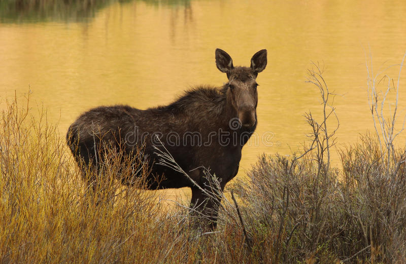 Moose. (Alces alces) in front of lake, Bridger Teton National Forest, Wyoming royalty free stock photography