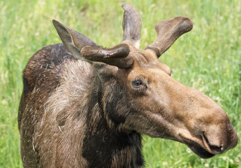 Moose. Face of moose in nature during summer royalty free stock photography