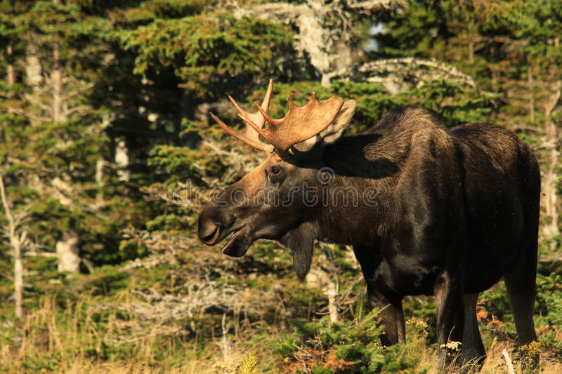 Bull Moose Stands At Edge of Forest. A Bull Moose stands in a clearing with mouth open during the fall rut on Cape Breton Island, Nova Scotia, Canada royalty free stock photo