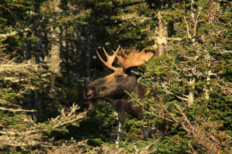 Bull Moose Peer From Behind Tree. A Bull Moose peeks out from behind the forest trees during the rut on Cape Breton Island, Nova Scotia, Canada stock photo