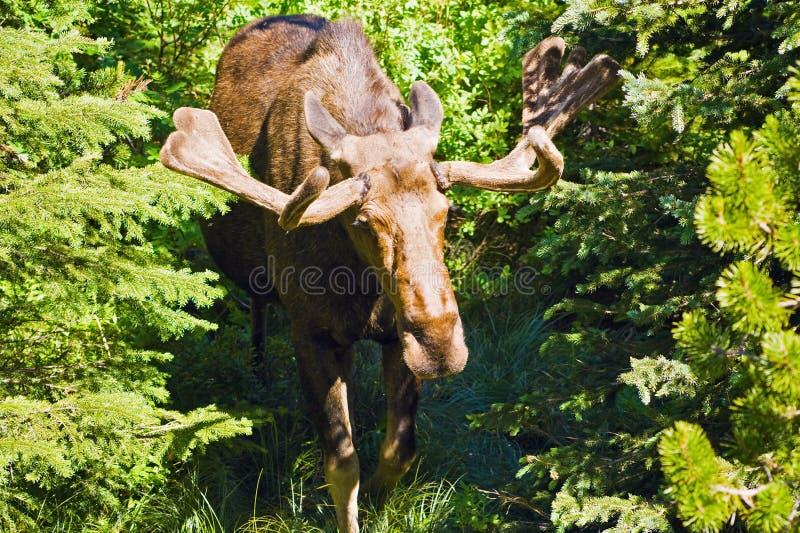Moose. Seen in Glacier National Park stock photo