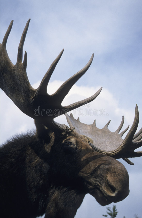 Free Moose Royalty Free Stock Images - 2833639
