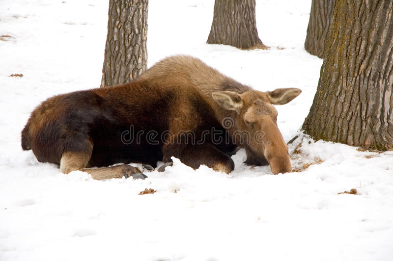 Moose. A moose resting in the snow royalty free stock photos