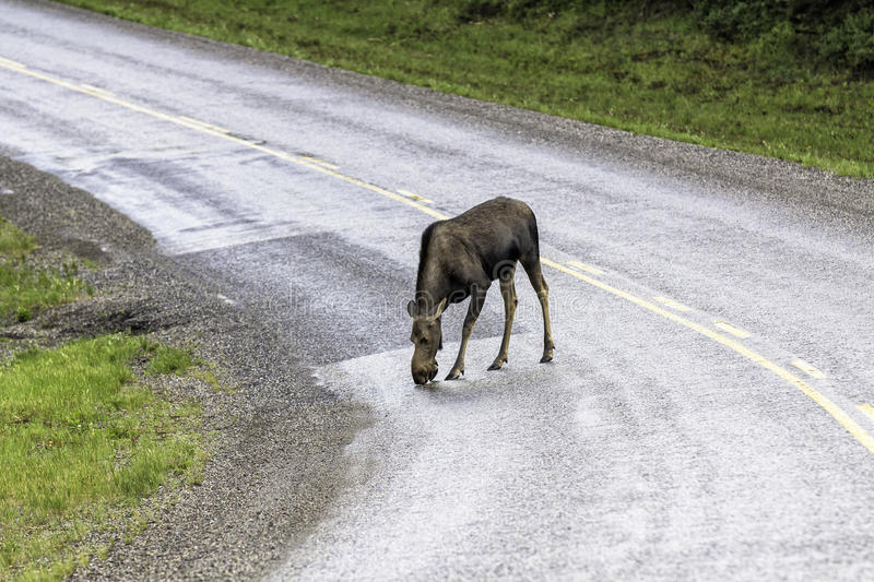 Download Moose Across The Road In Alaska Stock Image - Image: 31774575