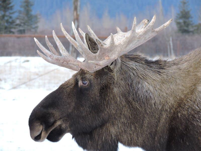 Moose in Alaska stock image