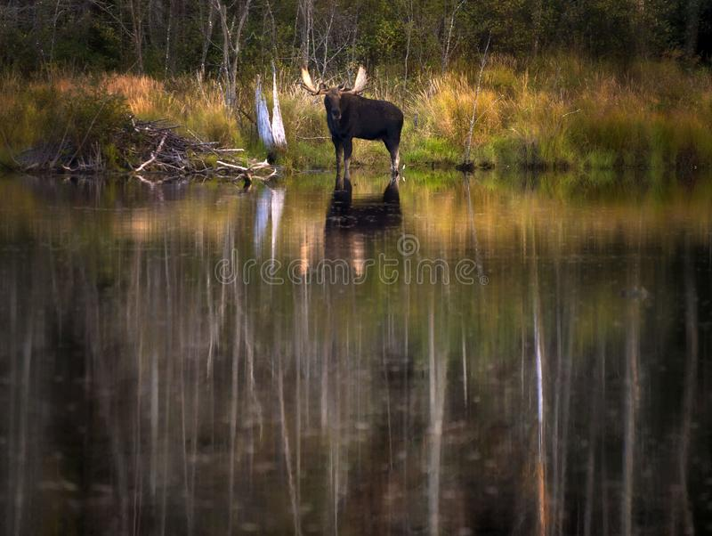 Moose in the Autumn. Moose in an Autumn Lake royalty free stock photo