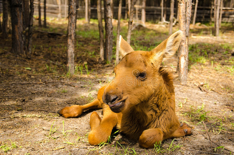 Moose baby animal. Cute baby moose in the forest stock image