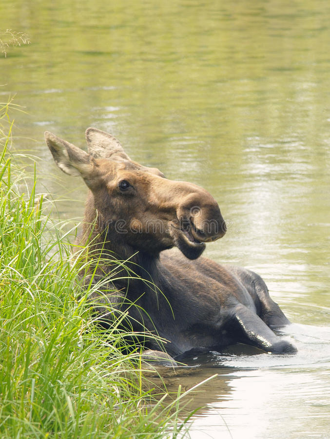 Moose Bathing. Moose cow bathing at reiver royalty free stock images