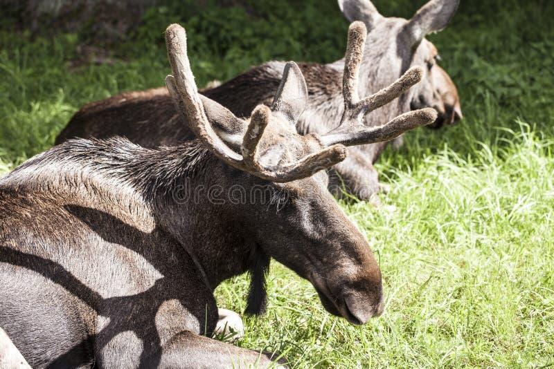 Moose, Bialowieza National Park. Moose in Bialowieza National Park royalty free stock image