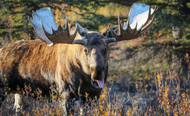 Moose Bull in Alaska royalty free stock photo