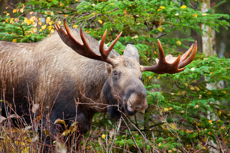 Moose Bull, Alaska, USA. Bull Moose with big antlers, from Alaska, USA royalty free stock photos