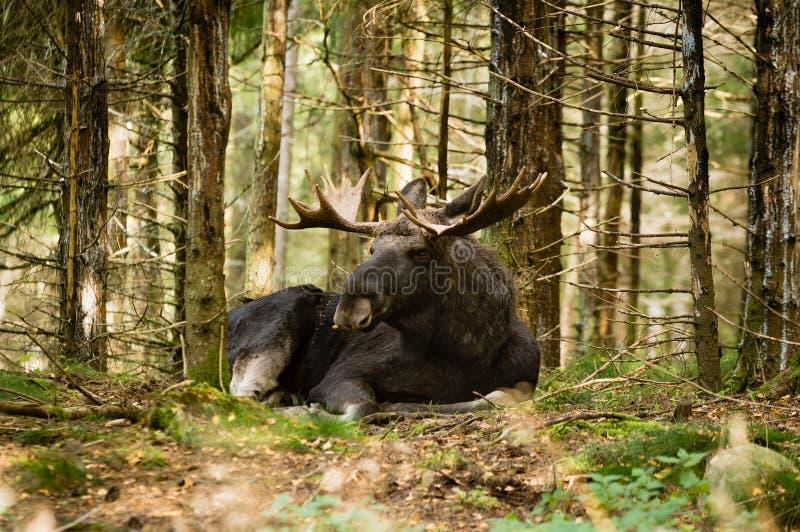Moose bull stock photo