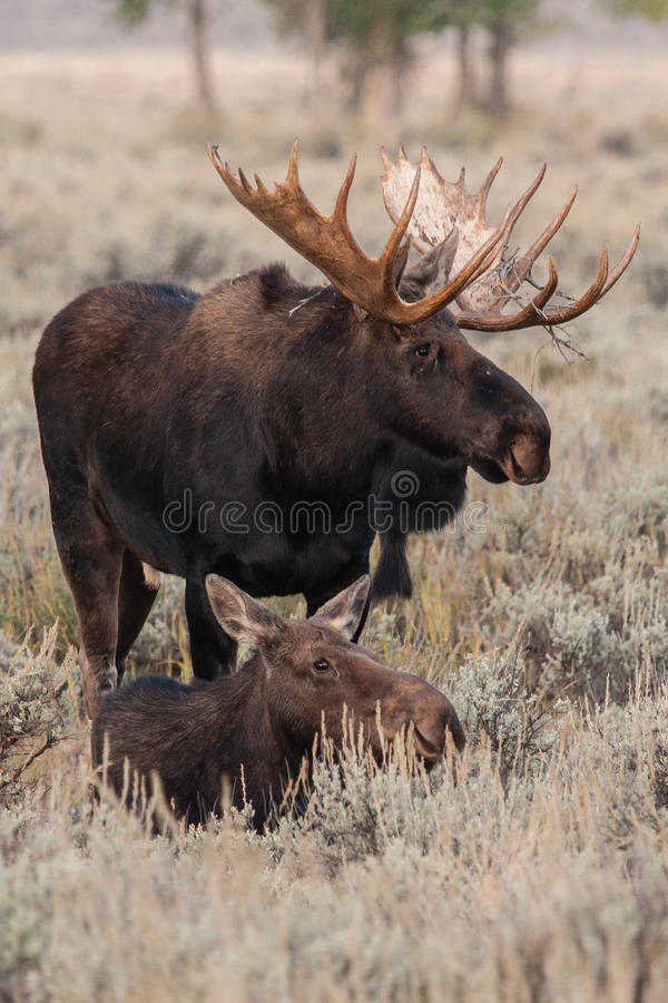Moose. A bull and cow moose in a field stock photos