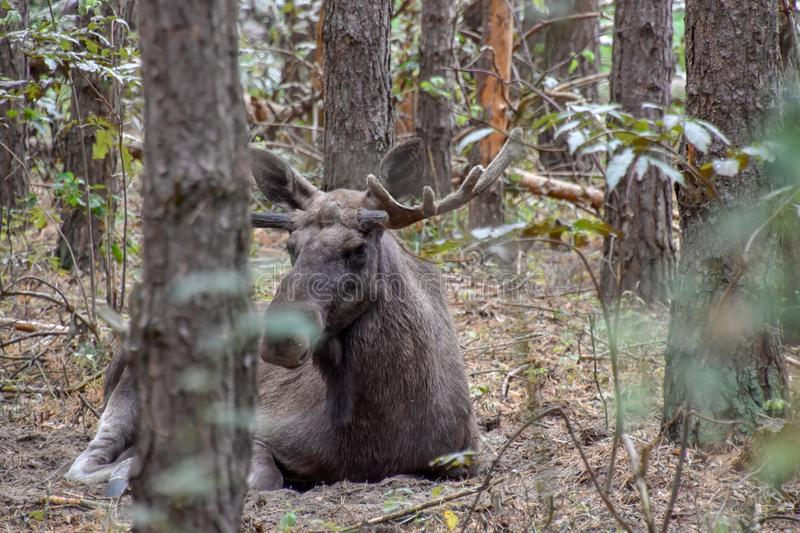 Moose bull in nature. Big moose bull in the great outdoors stock photo