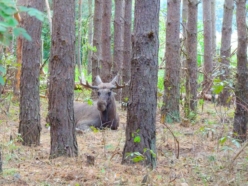 Moose bull in nature. Big moose bull in the great outdoors royalty free stock photo