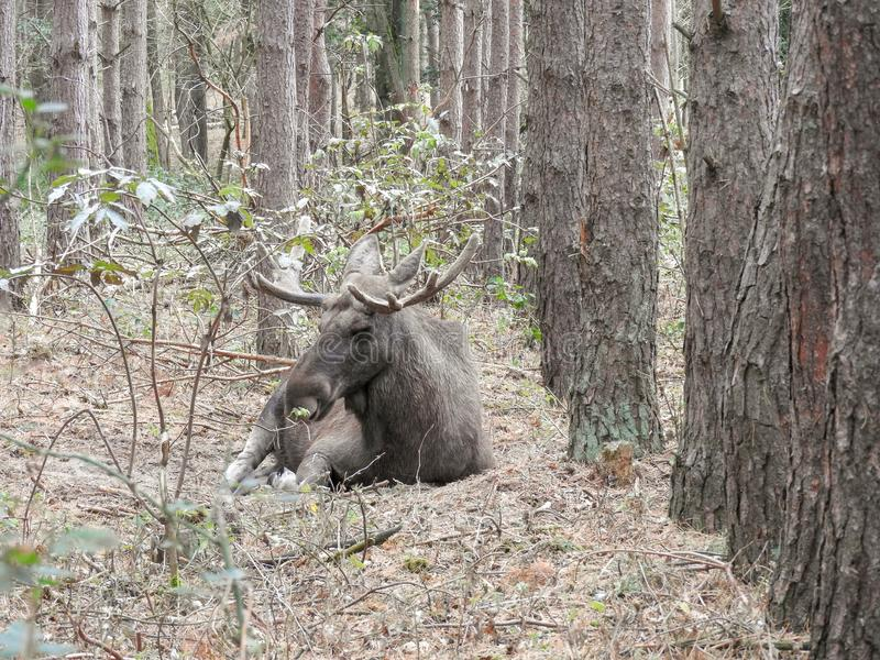 Moose bull in nature. Big moose bull in the great outdoors royalty free stock images