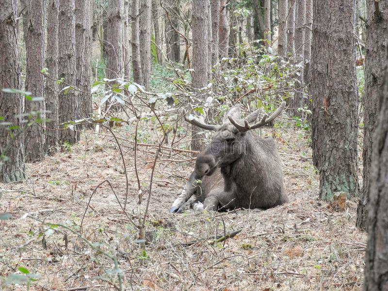 Moose bull in nature. Big moose bull in the great outdoors stock photography