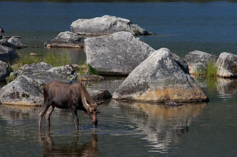 Moose calf. Drinking, Baxter State Park, Maine stock images