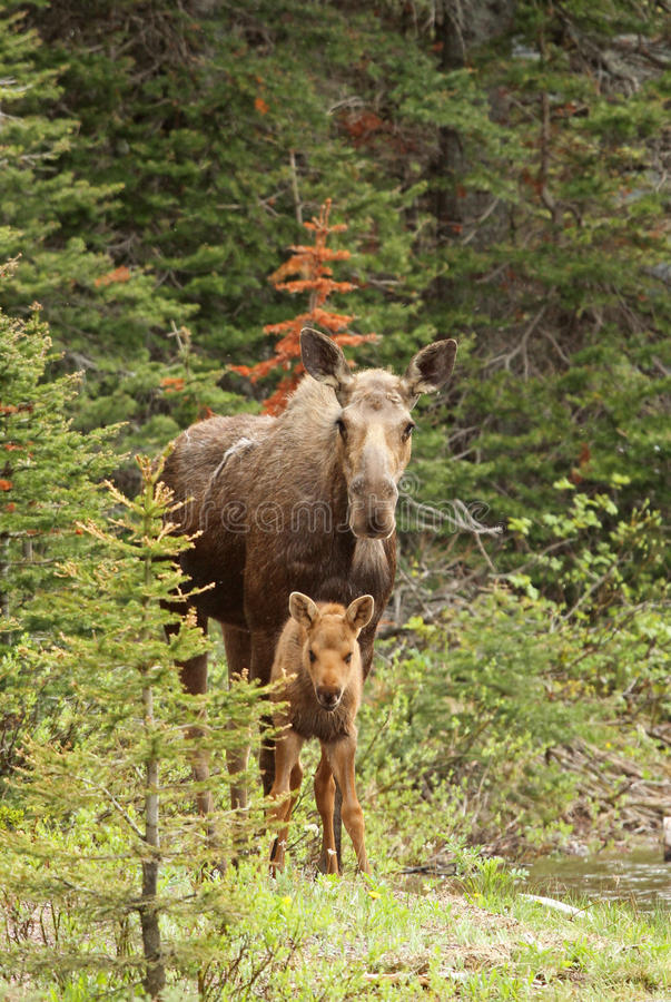 Moose and calf. Moose (Alces alces) with calf , Glacier National Park, Montana royalty free stock images