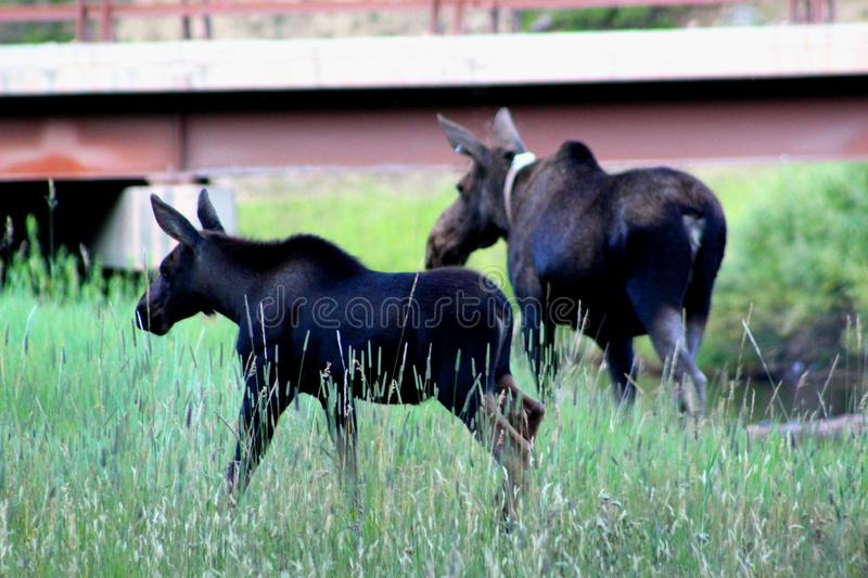 Moose and calf in the big horn national forest. Moose and calf in the big horns mountains royalty free stock photos