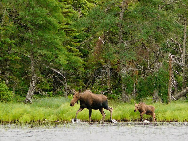Moose and Calf. In Highlands Park, Cape Breton, Canada royalty free stock image