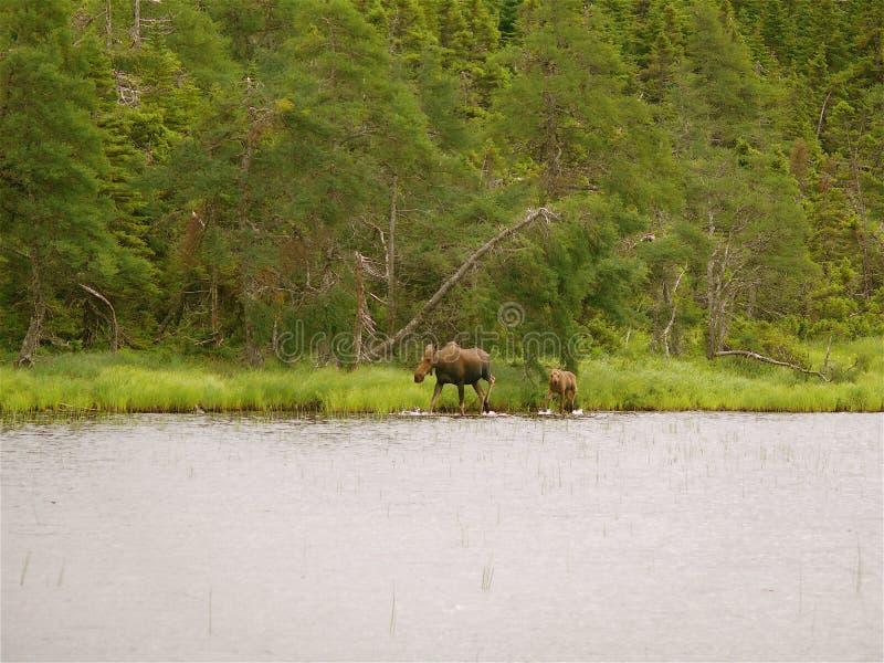 Moose and Calf. In Highlands Park, Cape Breton, Canada stock photo