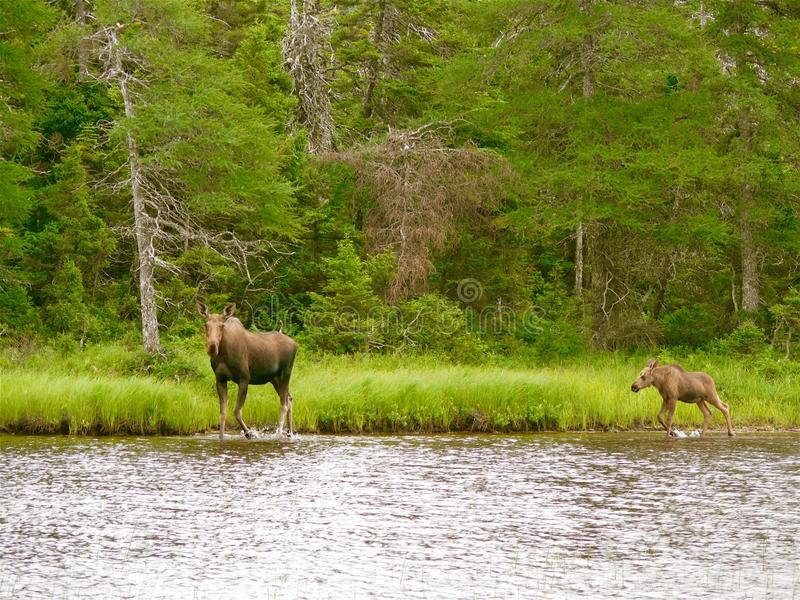 Moose and Calf. In Highlands Park, Cape Breton, Canada royalty free stock photography