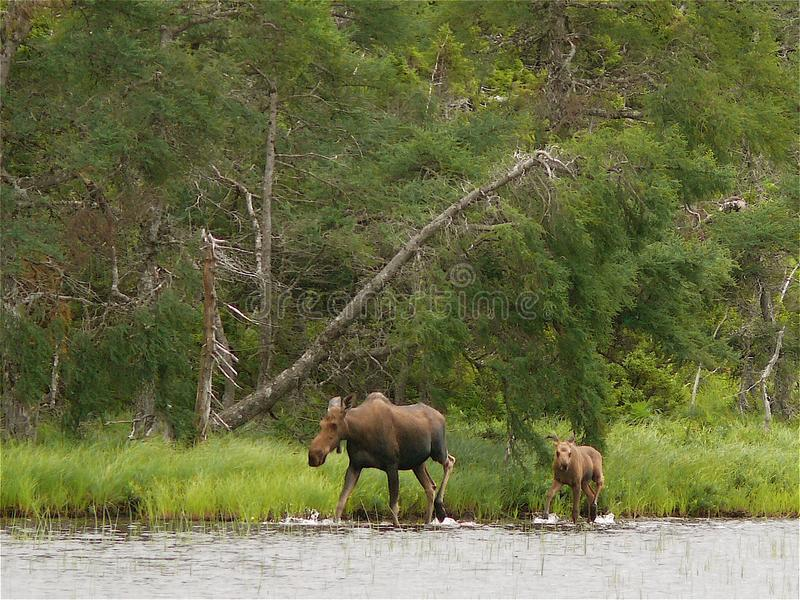 Moose and Calf. In Highlands Park, Cape Breton, Canada royalty free stock photos