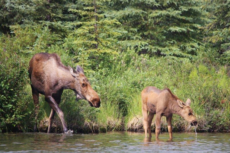 Moose and Calf Wonder Lake. Denali National Park stock image