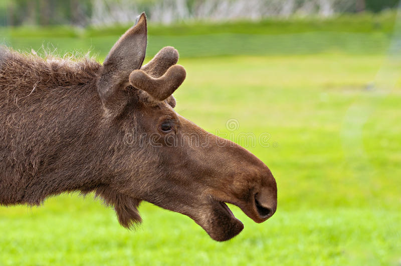Moose close up royalty free stock images