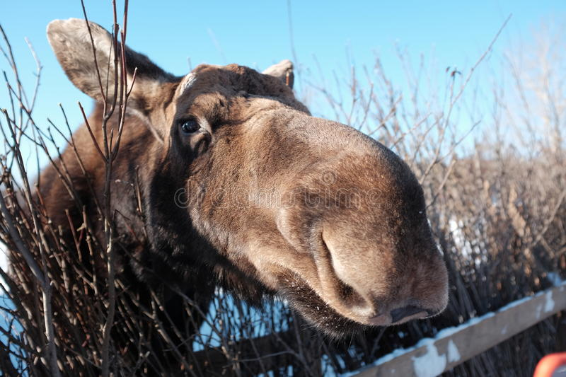 Moose, Close Up. A bull moose peers over a fence at a wildlife preserve in Quebec, Canada royalty free stock images