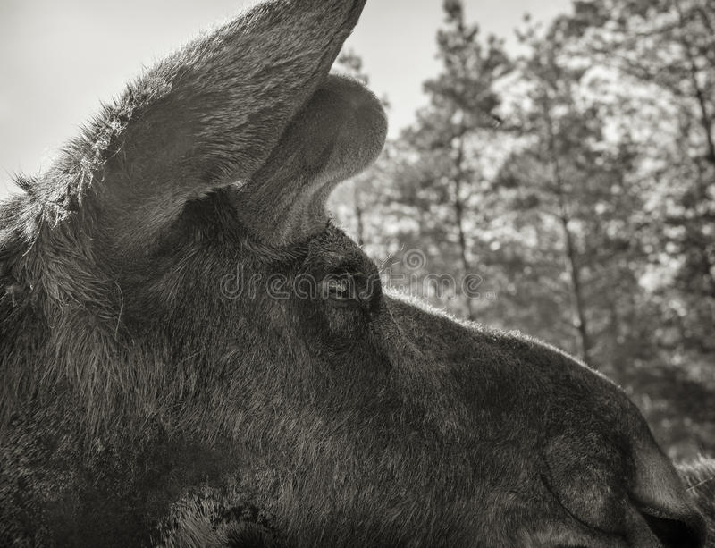 Moose closeup. Looking into the eye of the moose stock images