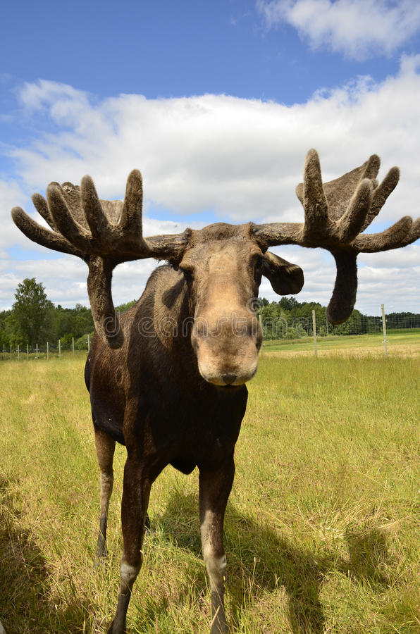 Moose. Closeup of a Moose in natural area royalty free stock photos