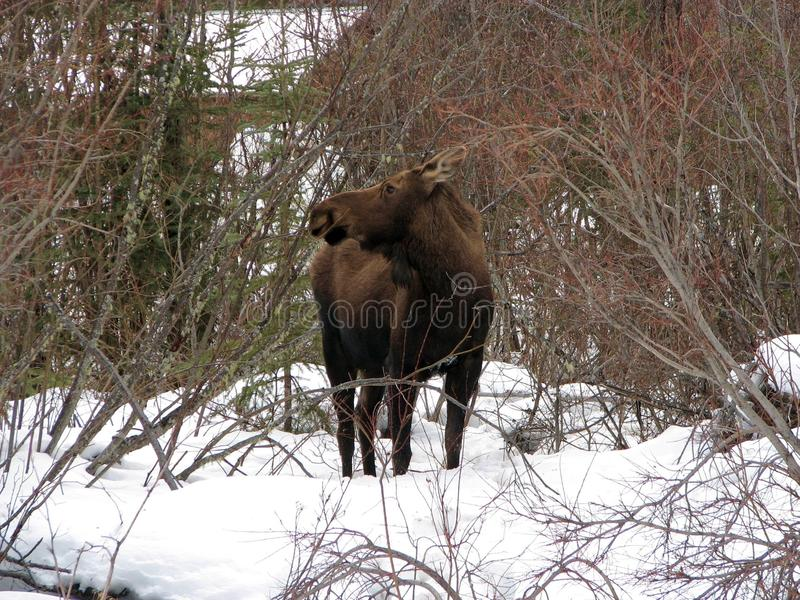 Moose cow royalty free stock image