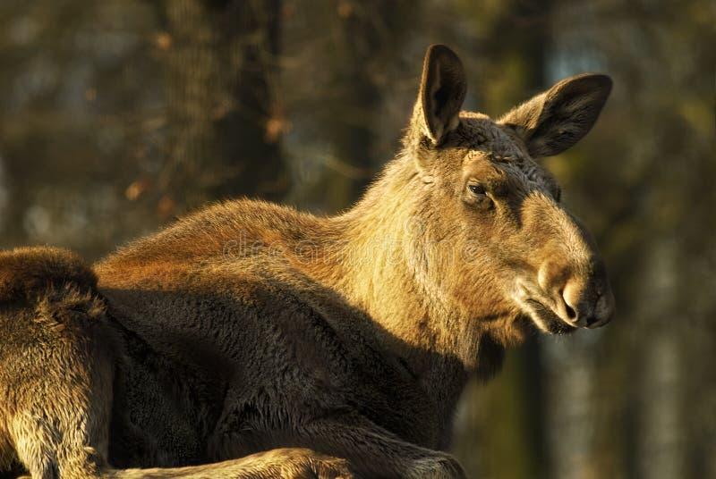 Moose cow  (Alces alces)