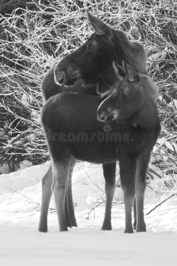 Moose Cow and Calf stock images