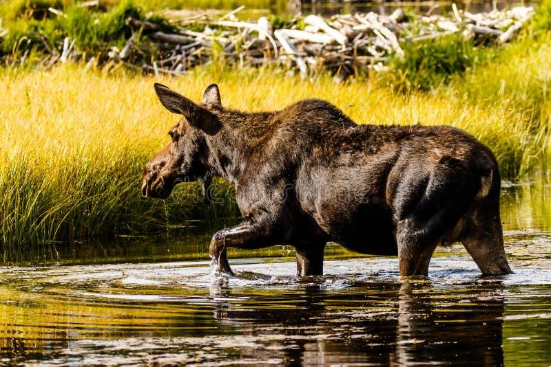 Moose Cow Crossing Snake River Wyoming royaltyfri bild