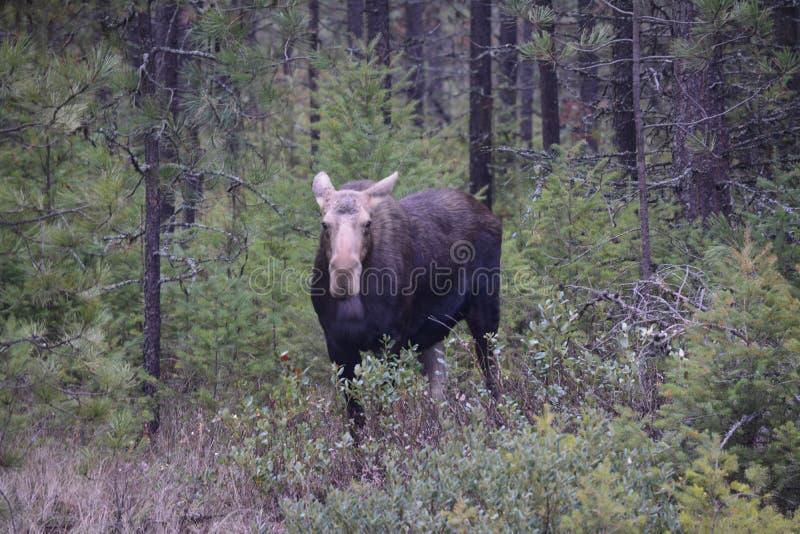 Moose Cow stock photos