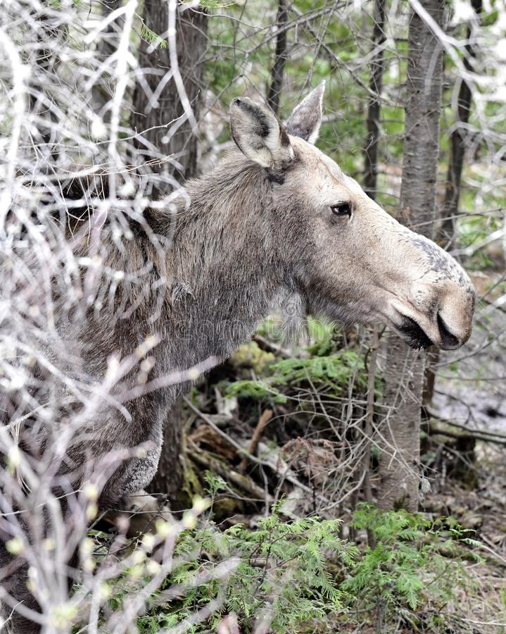 Moose Creeping Through Thiicket. This is a Spring picture of a female moose creeping through a thicket along a creek in Somerset County, Maine. This picture was royalty free stock photos