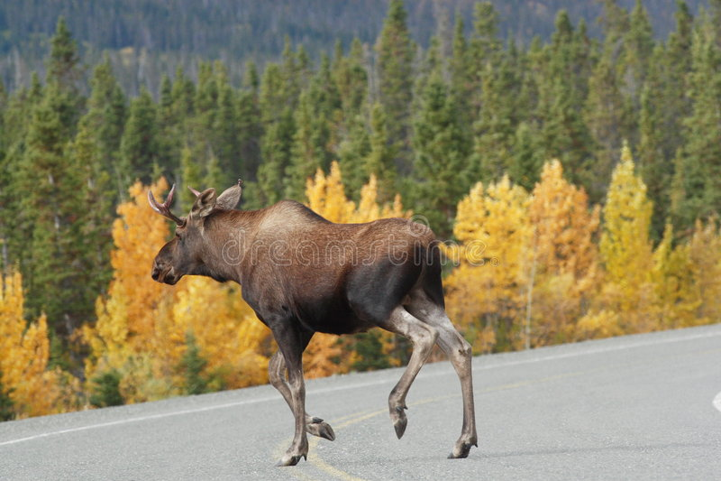 Moose croosing the alaska highway. In yukon territory royalty free stock photography