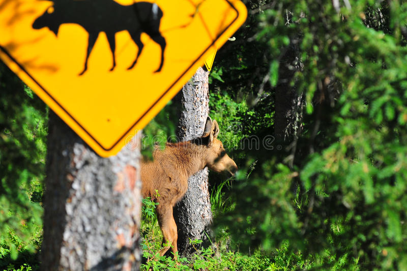 Moose Crossing. This moose calf is walking along the edge of the forest in Alaska right past the moose crossing sign royalty free stock photos