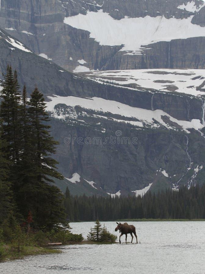 Moose Crossing Lake Stock Images